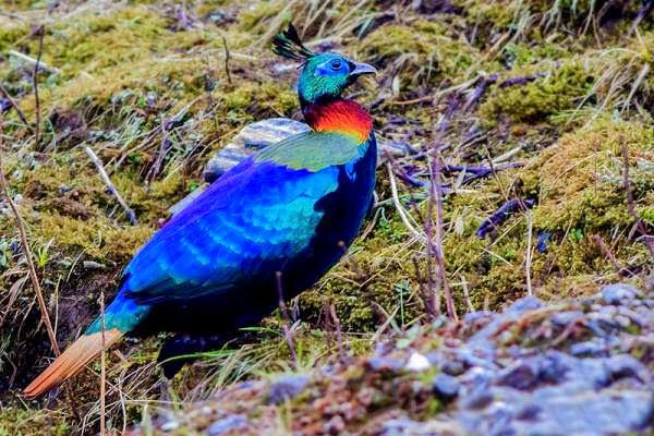 Bird symbol - Himalayan monal picture