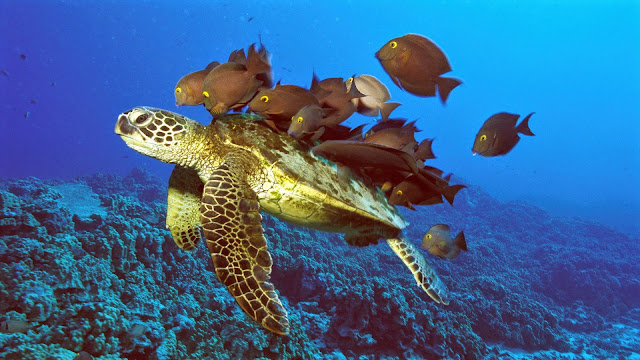 162739-Turtle and Fishes Animal HD Wallpaperz
