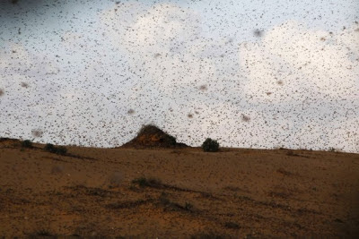 locusts fly near Kmehin in Israel's Negev desert