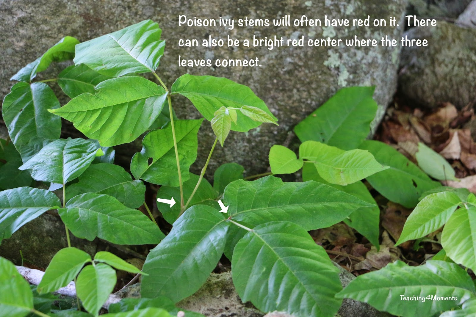 Teaching 4 Moments-red center stem in poison ivy