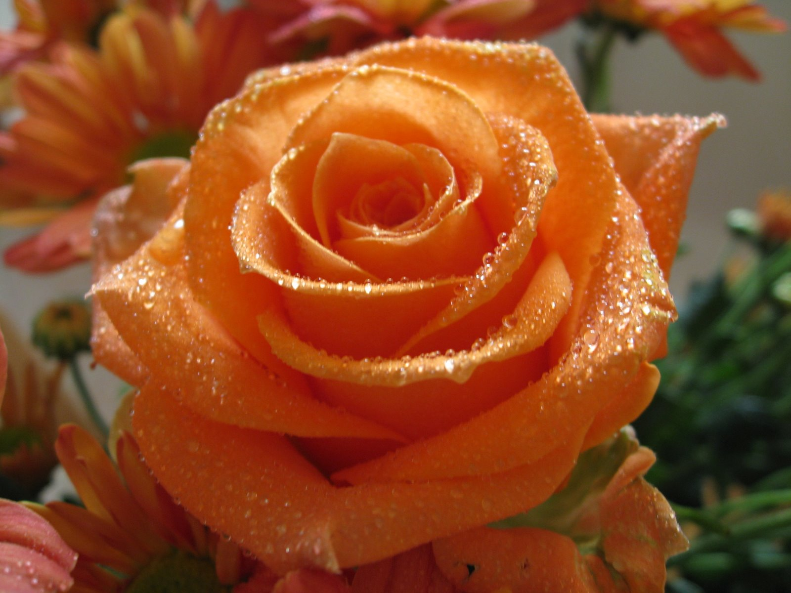 Beautiful Orange Rose Wallpaper