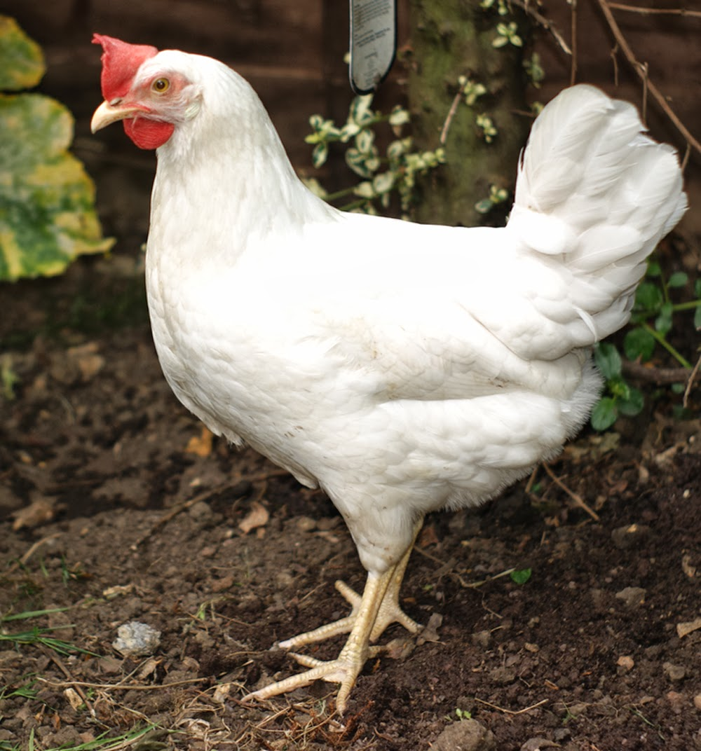 leghorns, white leghorns, laying hens, best laying hens, best egg laying hens, types of laying hens