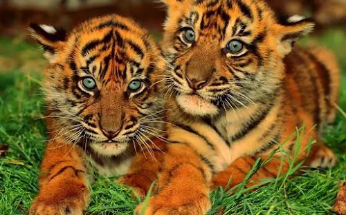 Filhotes de tigres ameaçados de extinção na China