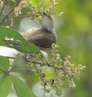 Cream-vented Bulbul (Pycnonotus simplex)