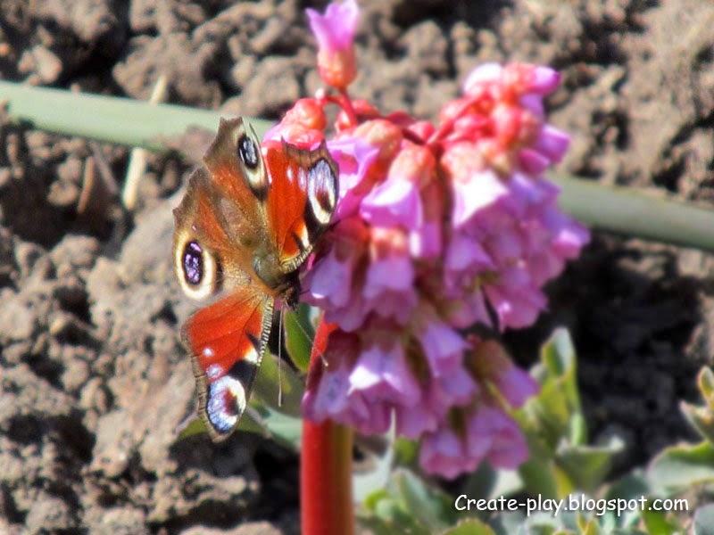 бабочка Павлинний глаз