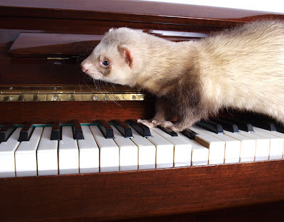 A curious ferret walking across a piano keyboard