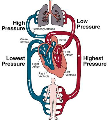 external image Circulatory%2525252BSystem.jpg