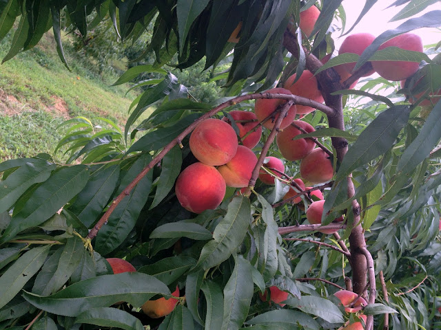peach picking, Eckert's peaches