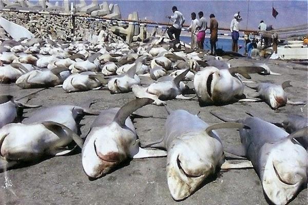 Matanzas de   tiburones en Australia.