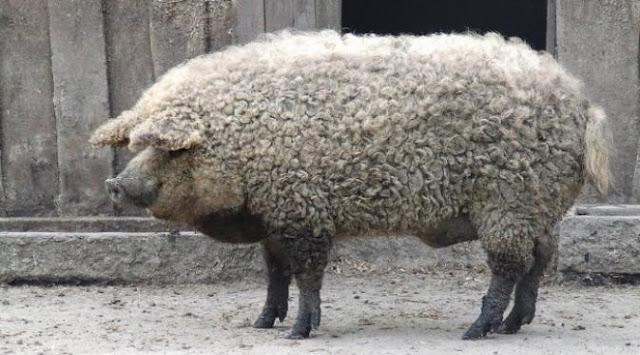 Babi mangalitsa berbulu domba