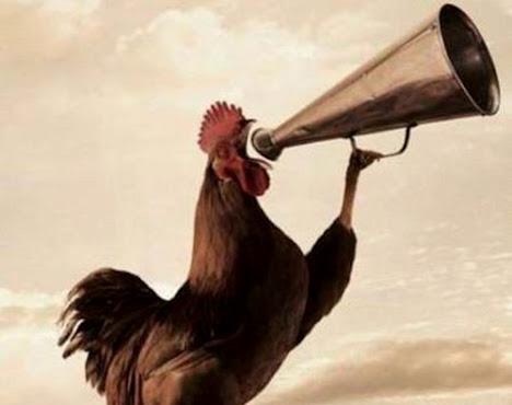 kenapa ayam jantan berkokok di pagi hari?