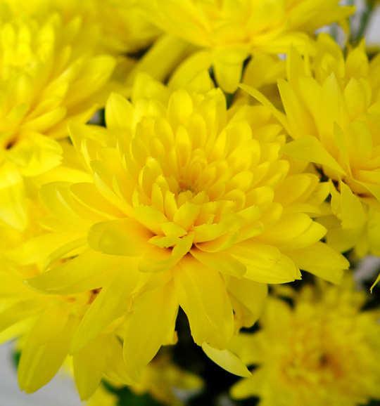 Lindas flores crisantemos - Como cultivar crisantemos ...