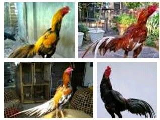 Cara Mudah Ternak / Budidaya Ayam Bangkok Aduan | TIPS ...