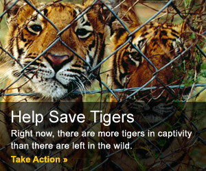how to help tigers from being endangered