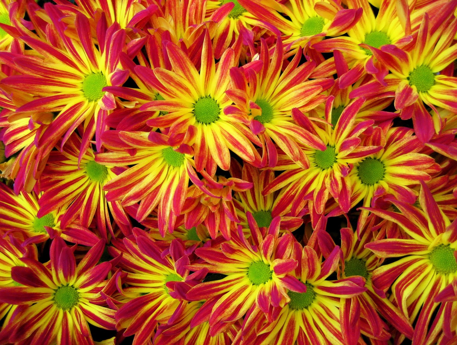 BREEDING CHRYSANTHEMUMS