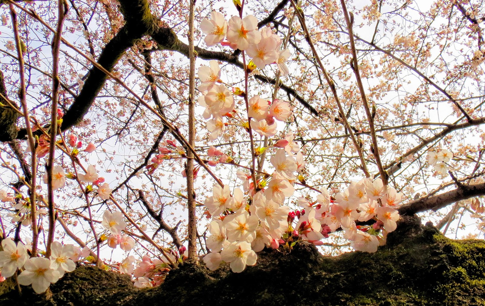 japão primavera sakura