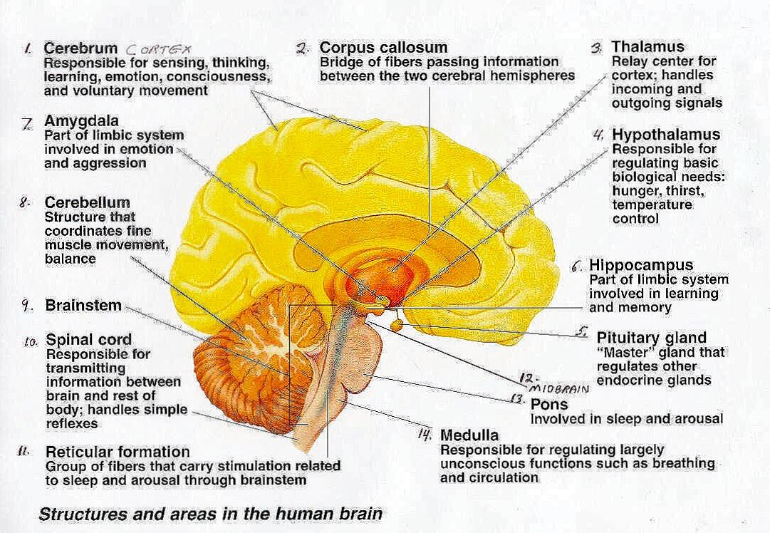 human brain parts and functions pdf