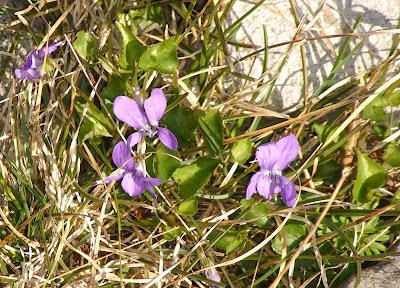 Wood Dog-Violet (Viola reichenbachiana) poss