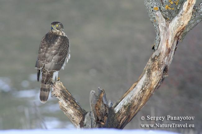 goshawk photography by www.NatureTravel.eu