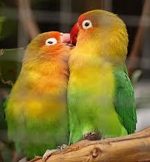 usia produksi lovebird