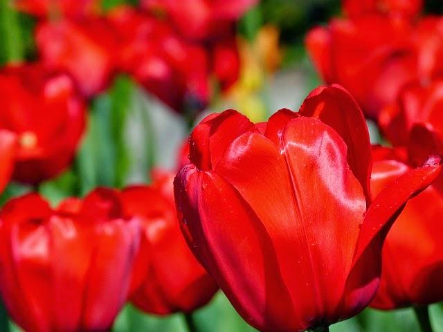 Tulipe de PeterKraayvanger