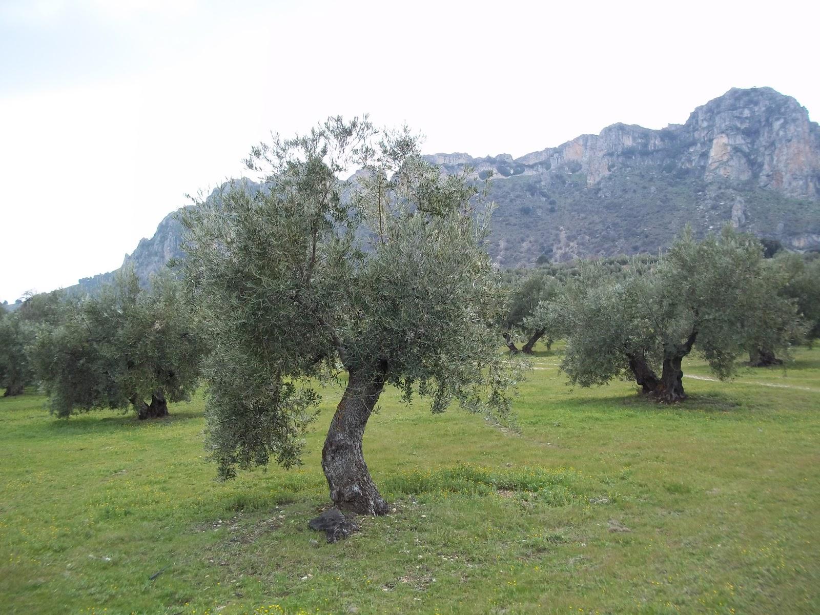 Aceite de oliva ecol gico juan de ortega y el majarral Rotaciones de cultivos ecologicos