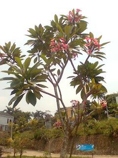 http://tukangtamankaryaalam.blogspot.com/2016/01/pohon-kamboja-bali-kamboja-bali-murah.html