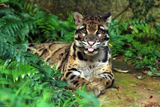 Il leopardo nebuloso vanta il record dei denti canini più lunghi, cinque cm.