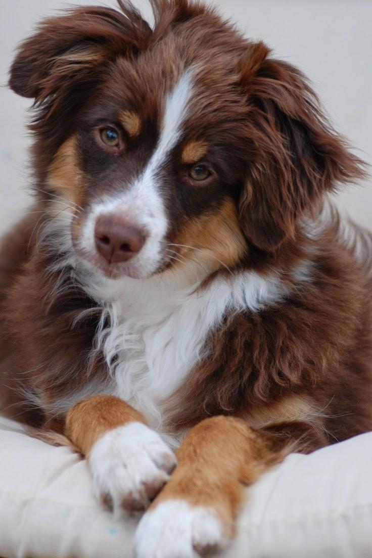 See more  Australian sherpherd http://cutepuppyanddog.blogspot.com/