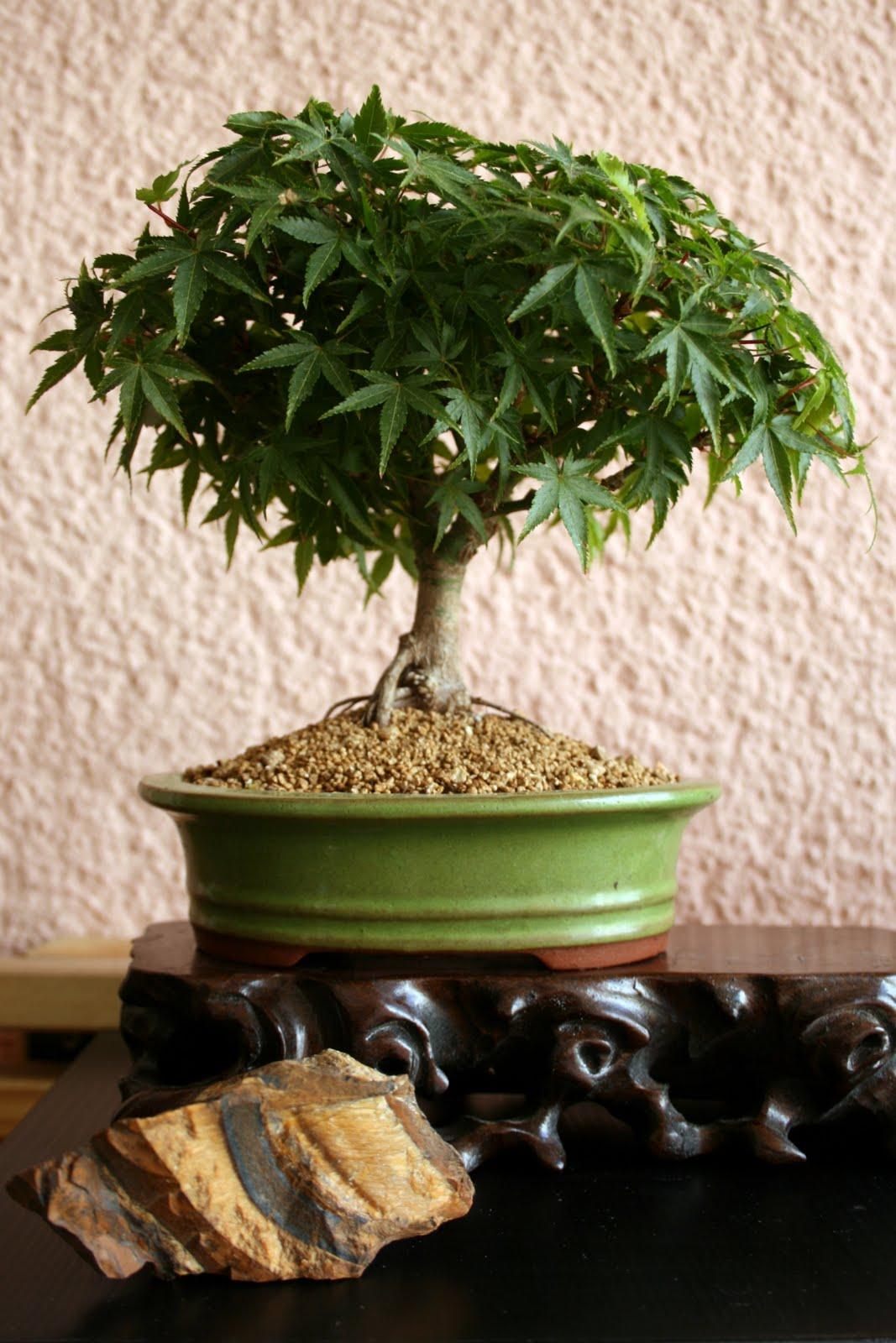 bonsai gemeinschaft unsere sch nsten bonsai. Black Bedroom Furniture Sets. Home Design Ideas