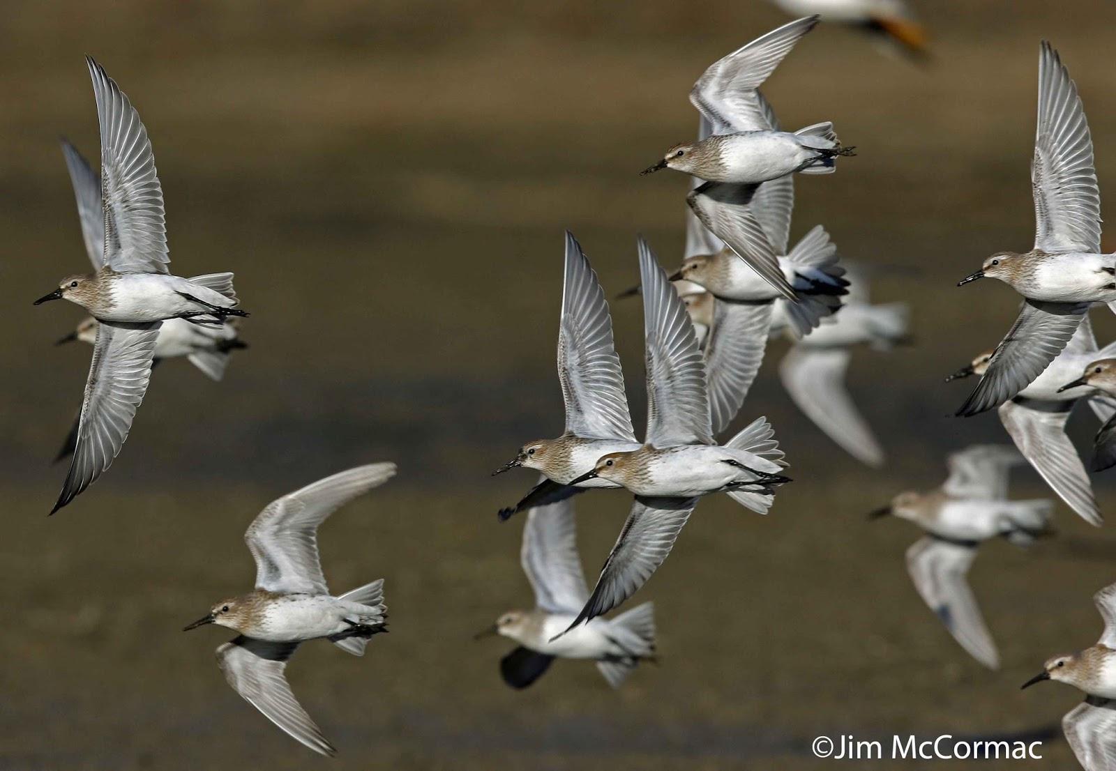 Hunting shorebirds for Fish hatchery ohio