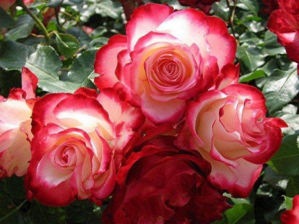 Porque eu gosto é de Rosas e Rosas e Rosas...