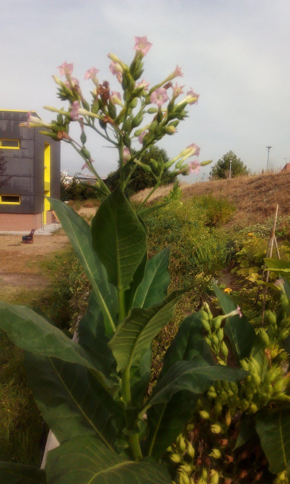 PLANTA DE TABACO VIRGINIA EN EL HUERTO