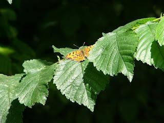 "<img src=""P1120005.jpg"" alt=""Mooie vlinder in Noorderplantsoen"">"