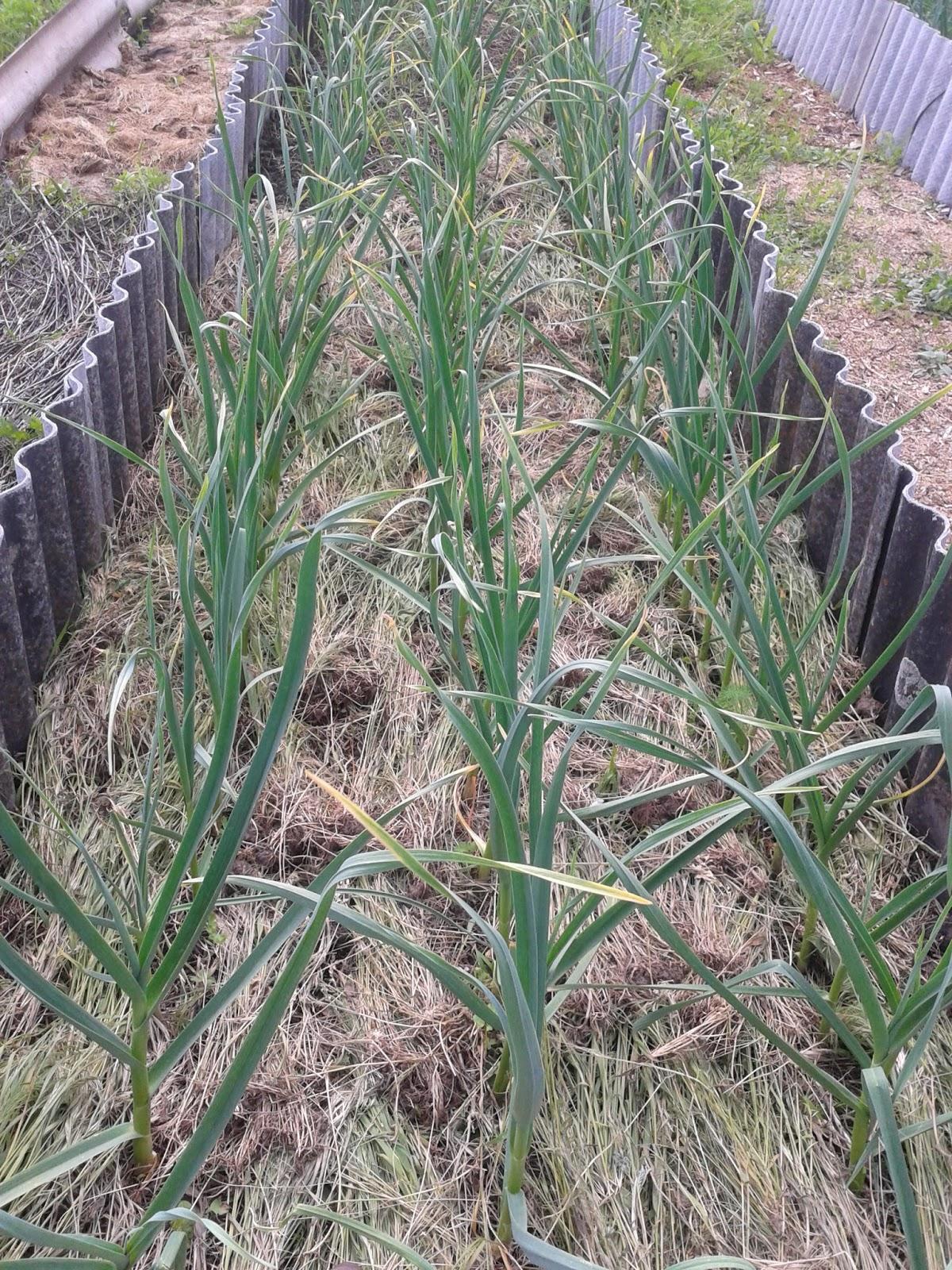 Технология выращивания озимого чеснока на кубани 9