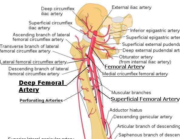 deep_femoral_artery, Cephalic Vein
