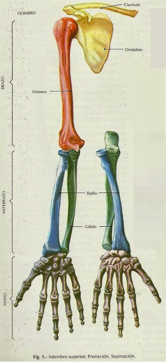 ANATOMÍA HUMANA: El Esqueleto