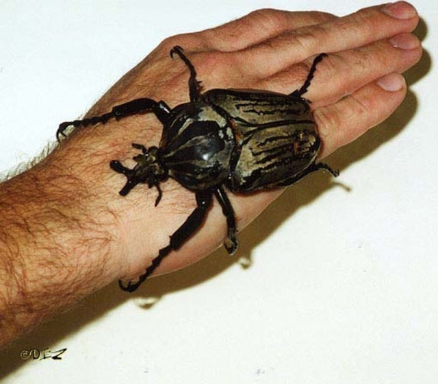 Largest Bugs In World