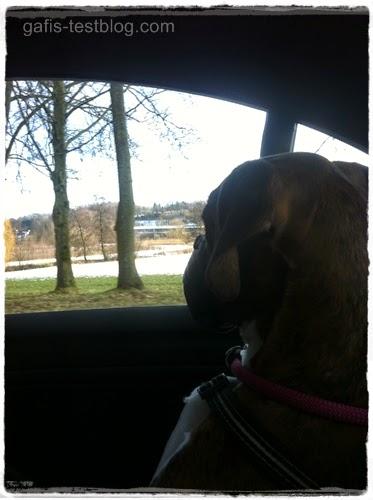 Boxer Amy im Auto