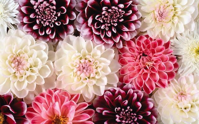 prachtige roze en witte bloemen mooie leuke achtergronden voor je bureaublad pc laptop tablet. Black Bedroom Furniture Sets. Home Design Ideas
