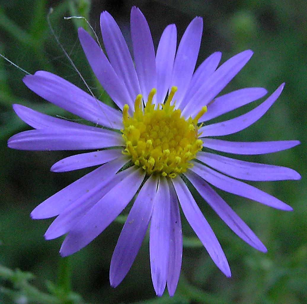 The organic gardener list of summer flowers list of summer flowers izmirmasajfo Gallery