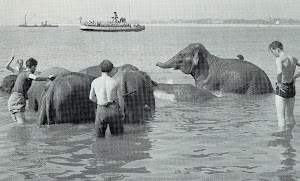 Bathing the circus elephants at Southsea
