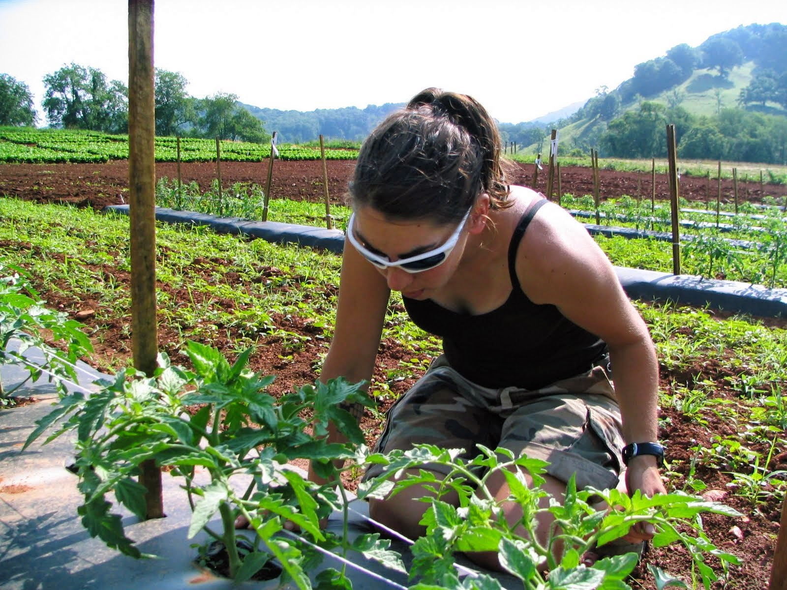 research employee checking tomato plant