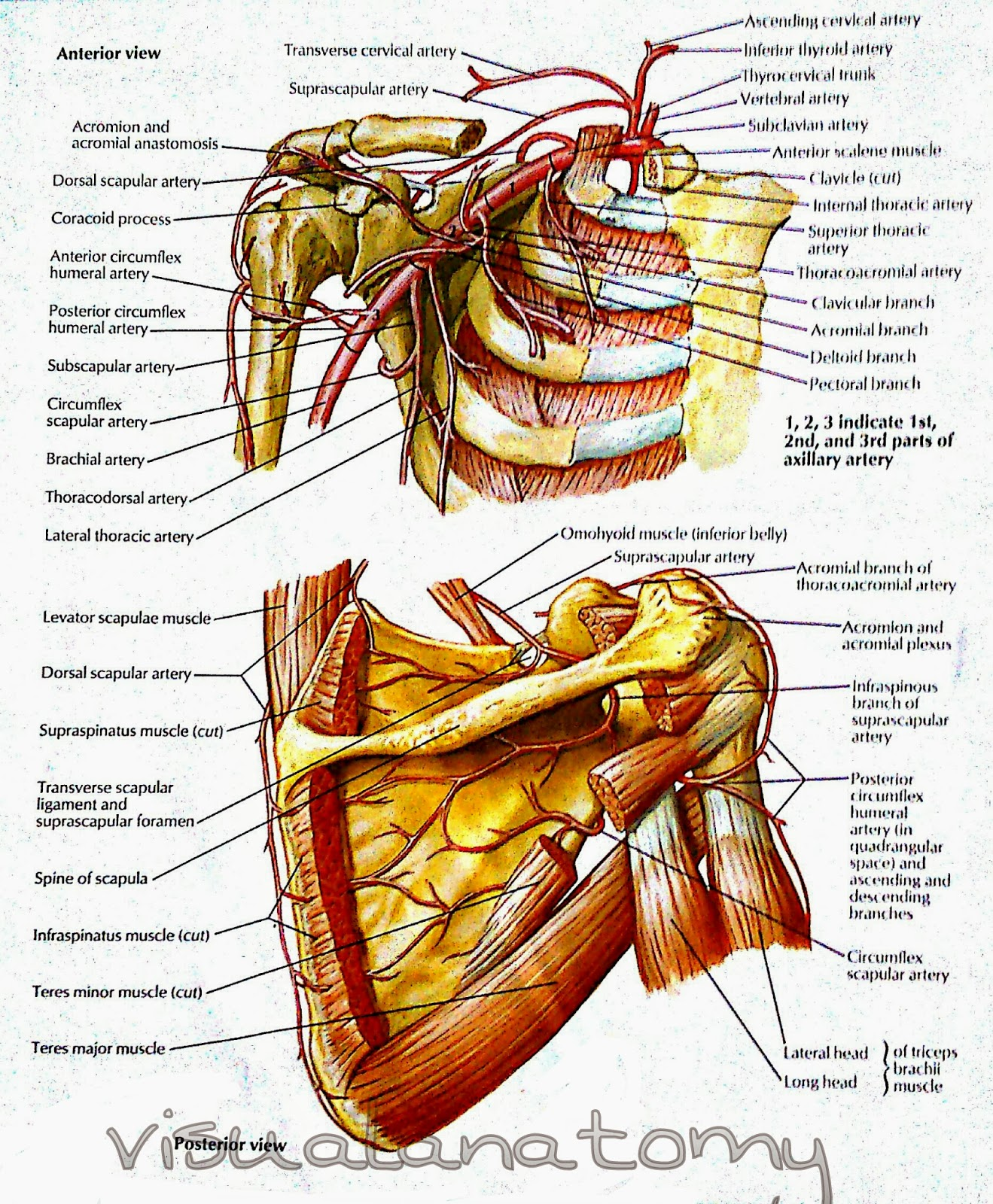 Axillary Artery And Anastomoses Around Scapula Visual Anatomy