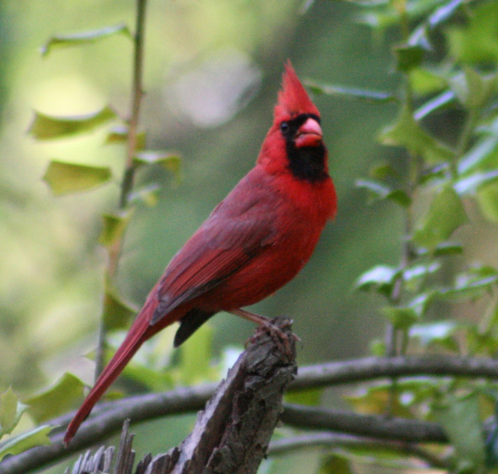 Apologise, but, cardinal red yellowish breast accept. The