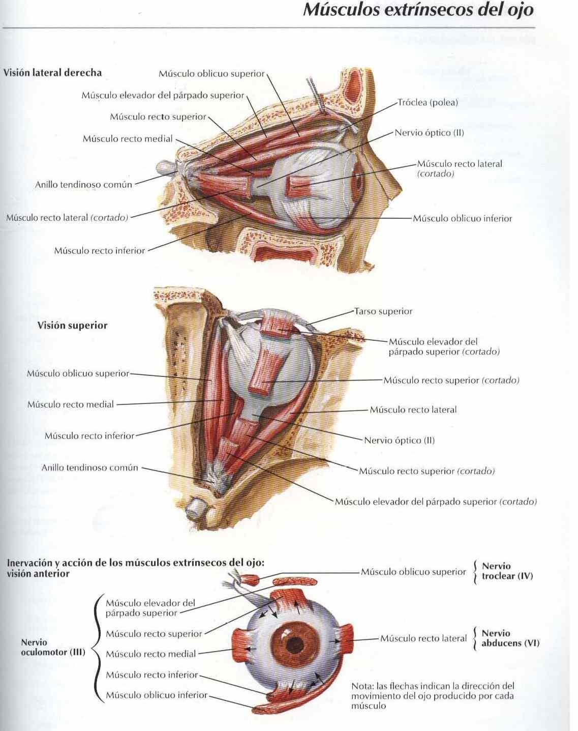 Anatomia: Músculos extrinsecos del ojo - Salud, vida sana, la ...