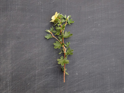 Potentilla - floral inspiration for shop.alfies-studio.com cards