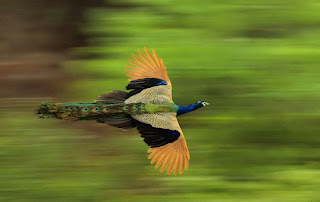 peacock in full flight