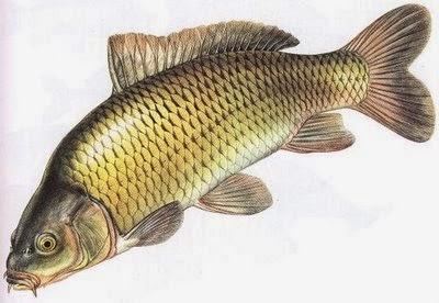 Ciri-ciri dan Klasifikasi Ikan (Pisces)