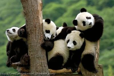 panda bears pictures 11